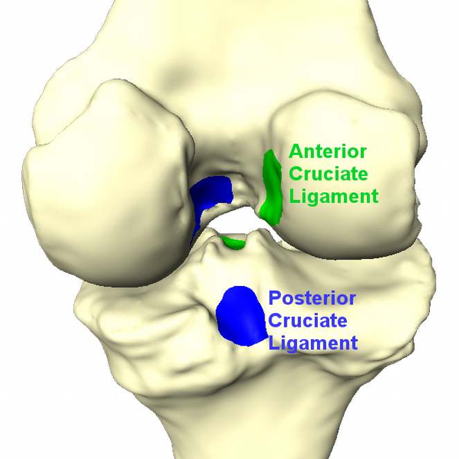 ACL_PCL_insertion_sites