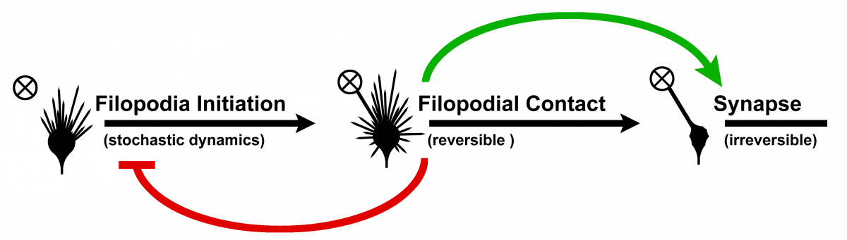 Transition model filopodium to synapse