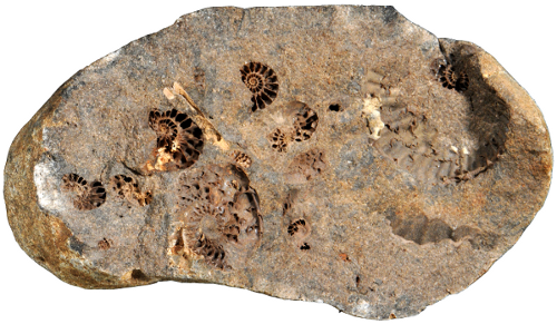 Fig. 1) Hollow ammonites Leymeriella in a Gault concretion from north-eastern Germany (coll. J. Kalbe).